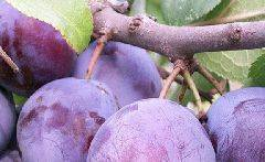 Сливы сорта чемальская крупная — описание и особенности выращивания
