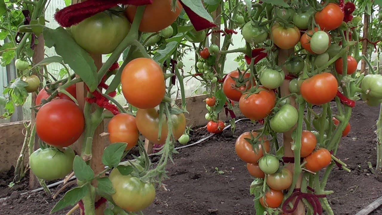 Томат полбиг: отзывы, фото, урожайность, описание и характеристика | tomatland.ru