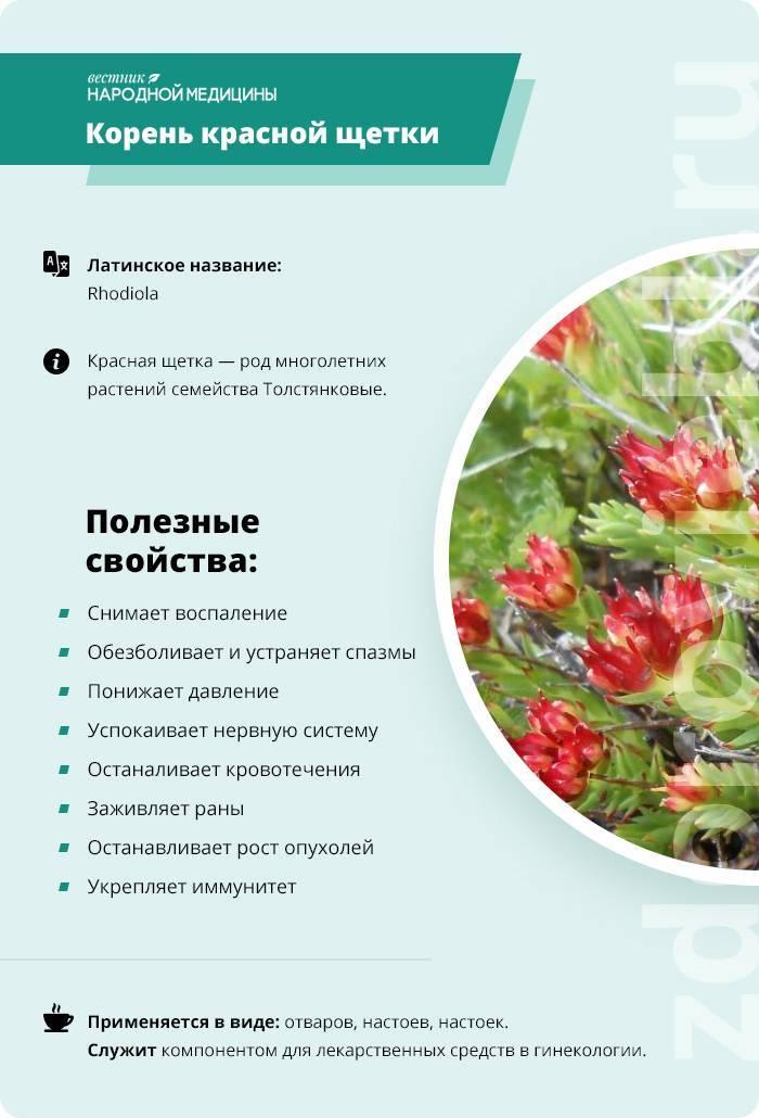 Трава красная щетка и ее лечебные свойства. рецепты народной медицины