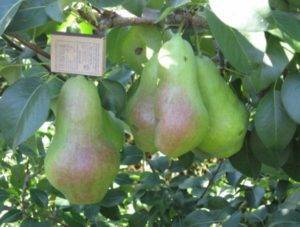 Какие груши можно выращивать в сибири?