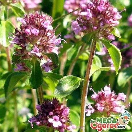 О траве чабрец: описание, свойства, где растет, как собирать и заготавливать