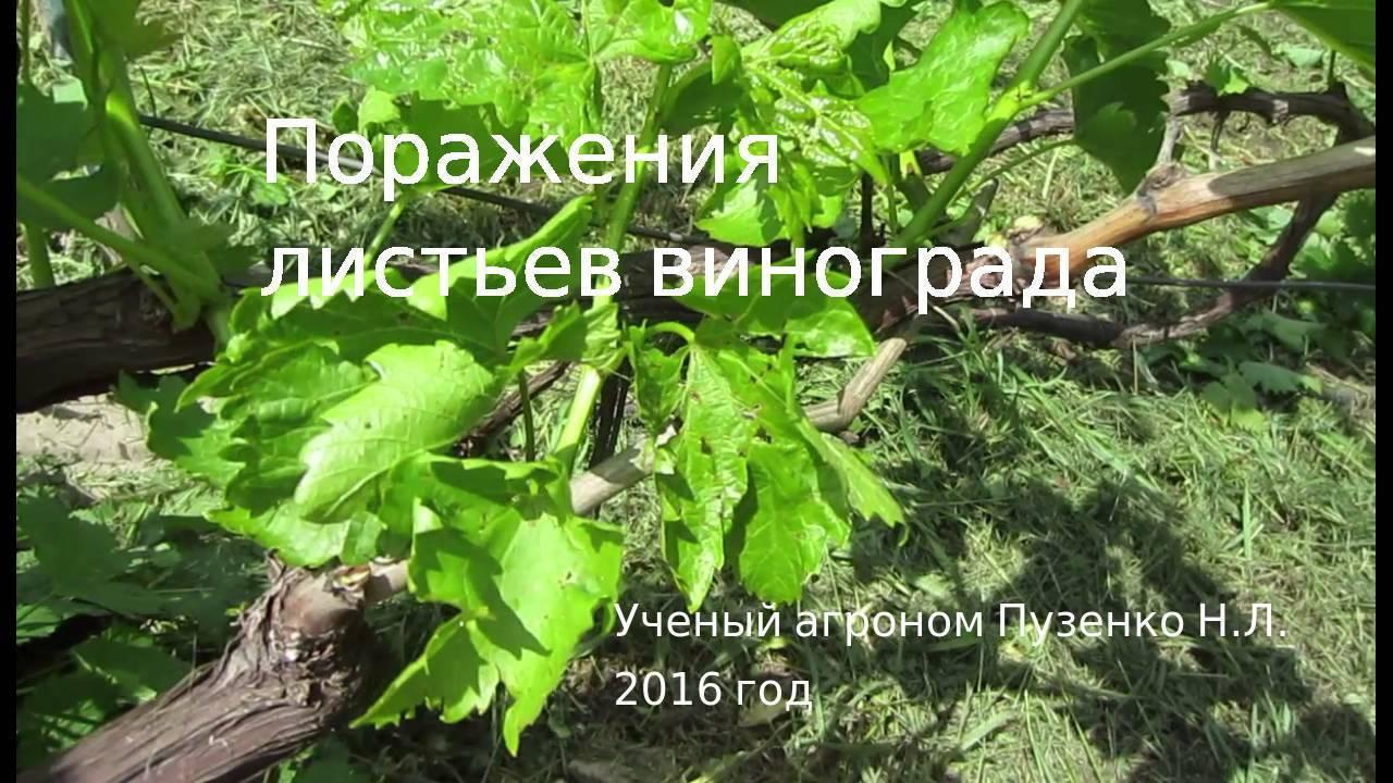 На винограде скручиваются листья в трубочку: что делать?