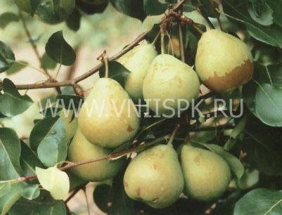 Один из самых востребованных сортов груши — «москвичка»!