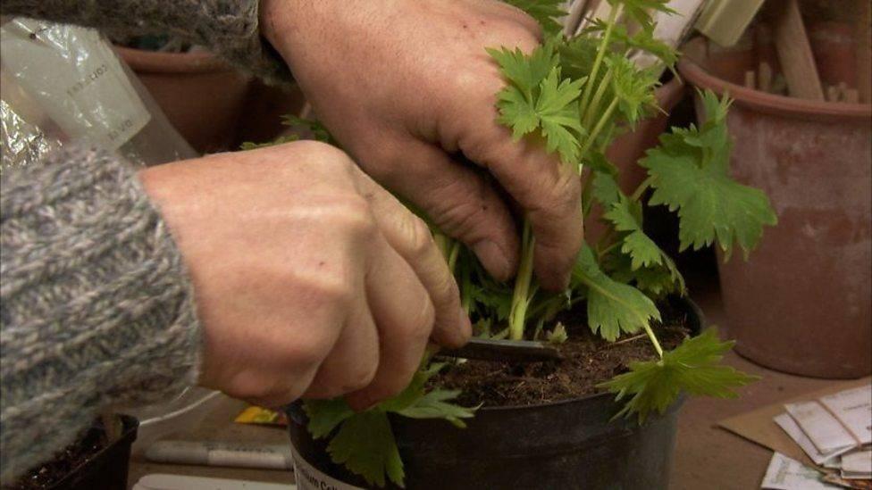 Дельфиниум: выращивание рассады из семян
