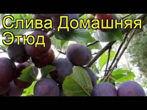 Главные правила выращивания сливы сорта этюд