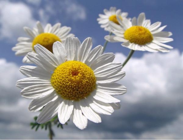 Ромашка лекарственная – польза, свойства, описание, применение