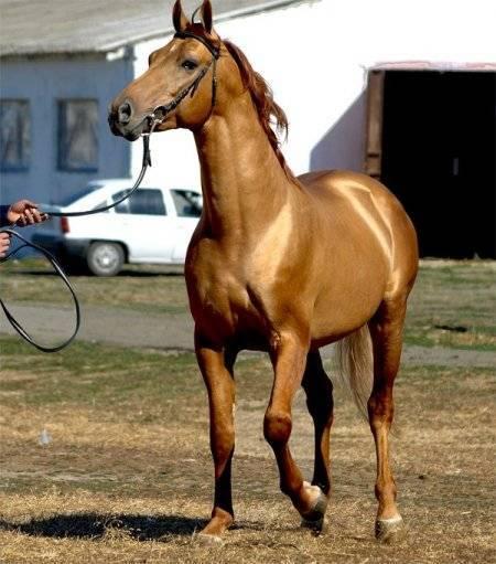 Донская порода лошадей: характеристика дончака (казачьего коня) || казачьи лошади породы казачьих лошадей