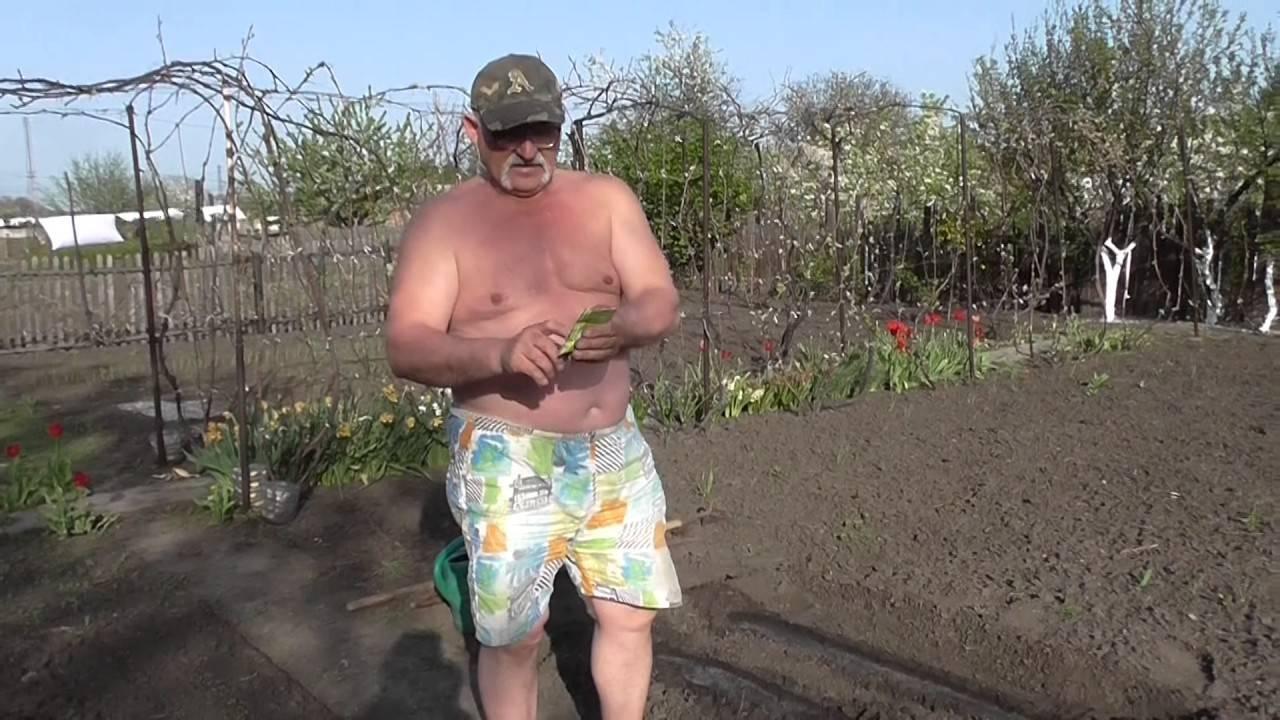 Когда сеять капусту в 2019 году