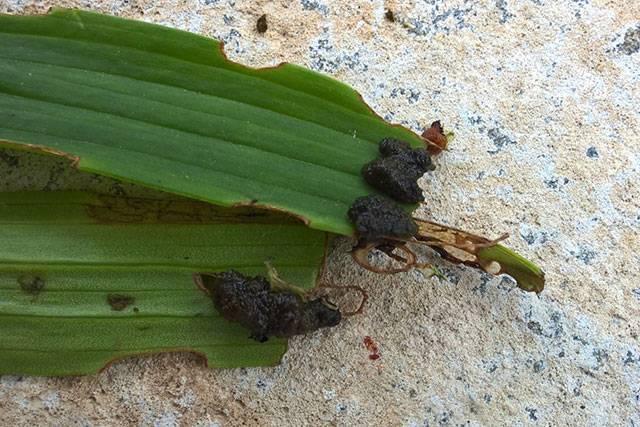Болезни и вредители лилий (39 фото): их описание. что делать, если опадают бутоны? чем обработать лилии, если скручиваются листья?