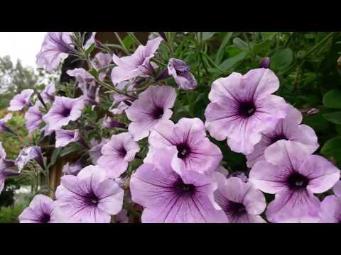 Все о сорте петунии Тайфун: как выглядит, описание, размер цветка, выращивание