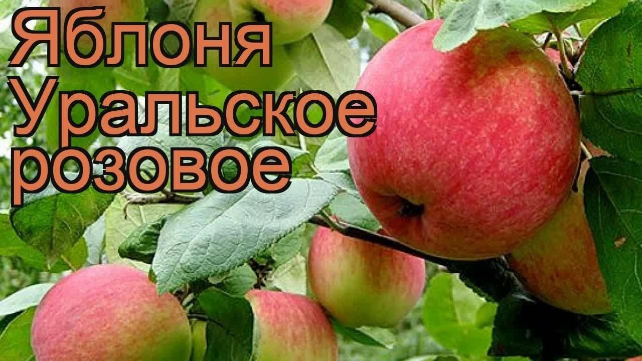 Яблоня уральское наливное — сорт, адаптированный к суровым условиям