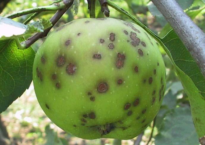 Болезни груши — лечение, защита и борьба с вредителями грушевого дерева