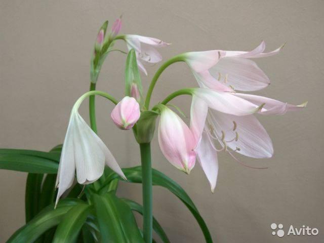 Лилия комнатная или домашняя в горшке — как ухаживать