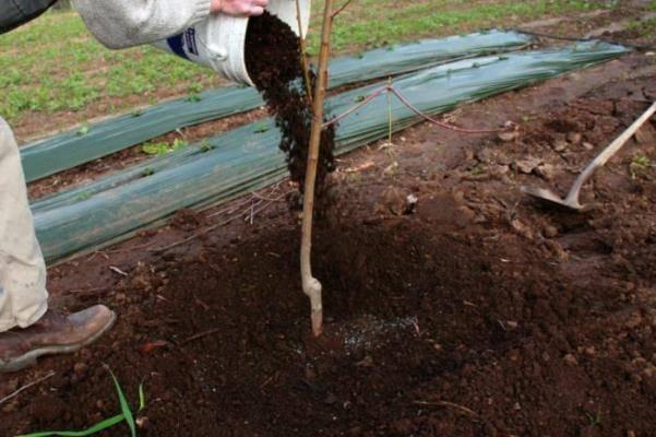 Подкормка груши осенью, весной и летом: какие удобрения использовать, график внесения