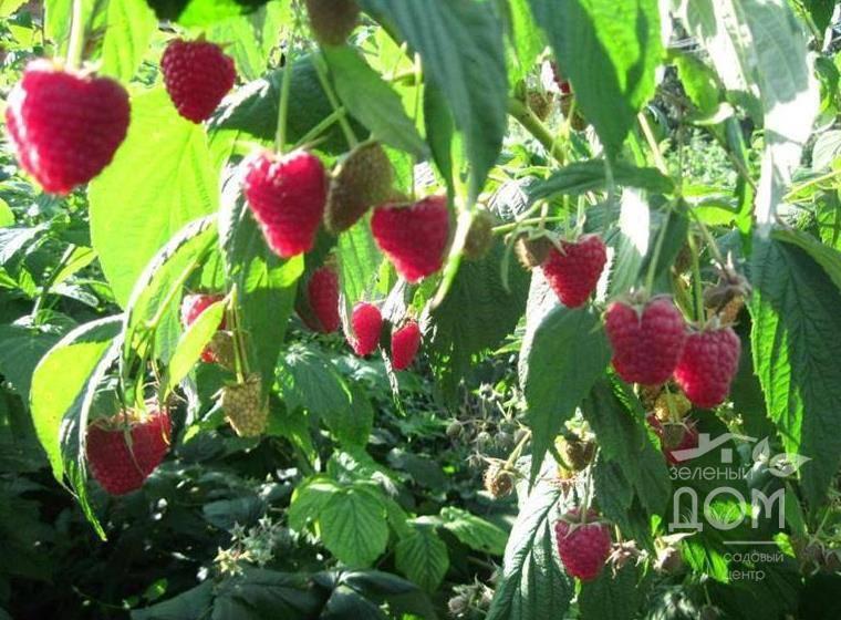 Сорта малины для подмосковья, средней полосы с фото и описанием, особенности агротехники
