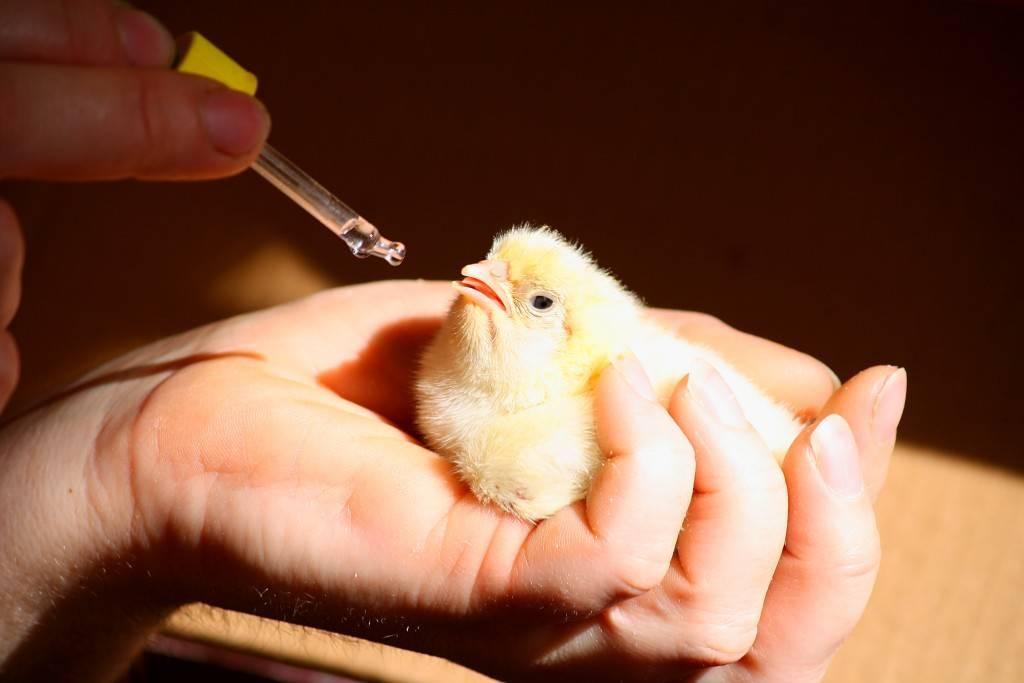 Байтрил и другие препараты для цыплят бройлеров, инструкции применения