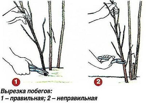Как правильно обрезать малину осенью