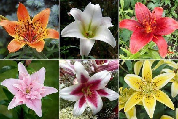 Когда садить лилии в открытый грунт: весной или осенью?