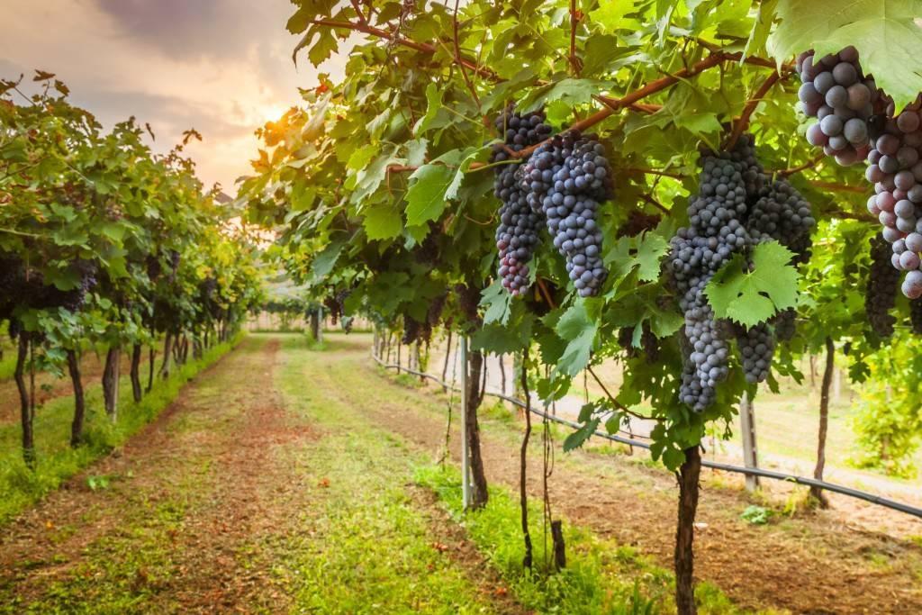 Почему у винограда вянут листья, сохнут по краям и скручиваются, что делать
