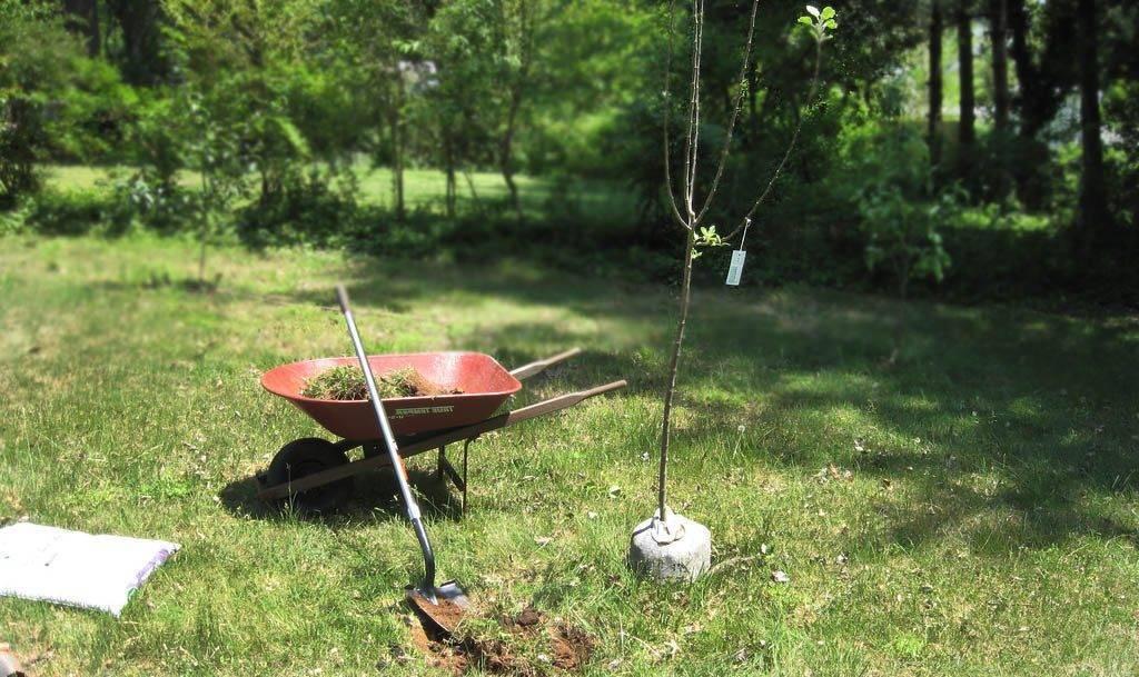 Посадка яблонь весной расстояние между деревьями. основная схема посадки яблонь
