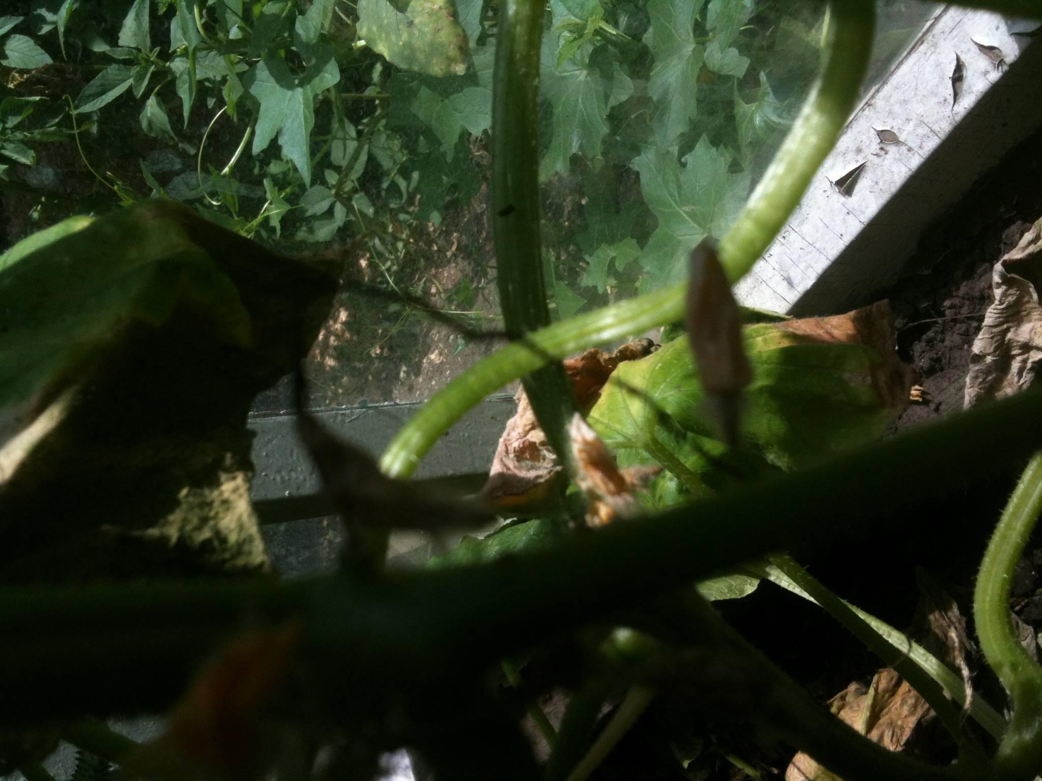 Завязь огурцов желтеет и не развивается: что делать с проблемными всходами и советы по восстановлению роста огурца (видео + 130 фото)