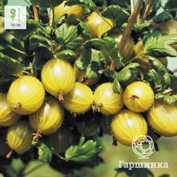 Сорт крыжовника медовый: описание и советы по выращиванию