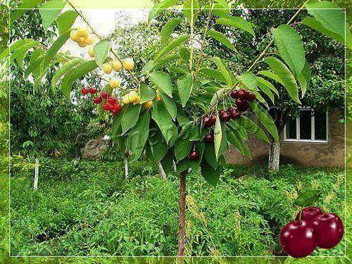 Что можно привить на вишню — 9 деревьев, как прививать почкой и когда