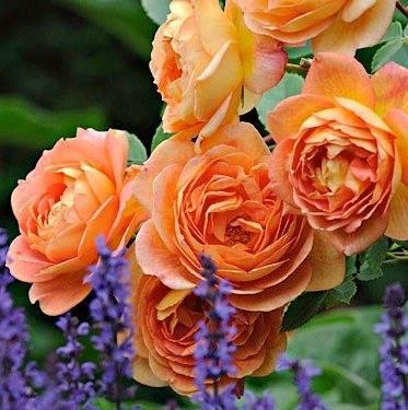 Ароматная роза леди оф шалот. особенности цветка, правила ухода и выращивания, фото