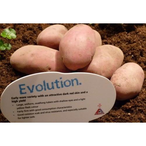 Сорт картофеля эволюшн фото и описание