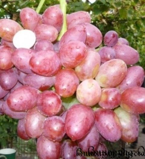 Виноград сорта софия: подробное описание + фото