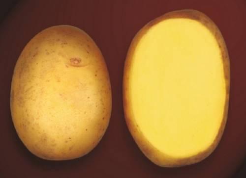 Картофель гала: описание и характеристика, выращивание