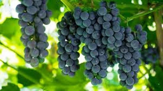 Описание и характеристика винограда сорта оригинал, посадка и уход