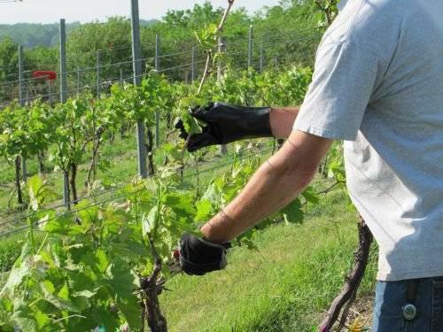 Уход за виноградом с весны до осени – полезные советы начинающим