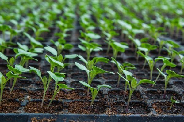 Посадка цветной капусты: как правильно сажать, на каком расстоянии
