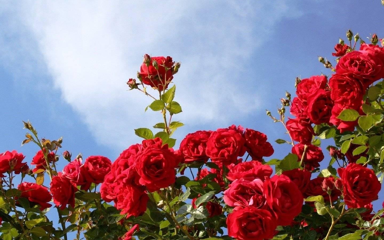 Почему не цветут розы при крепких побегах?