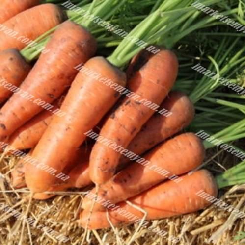 Морковь шантанэ 2461 описание сорта