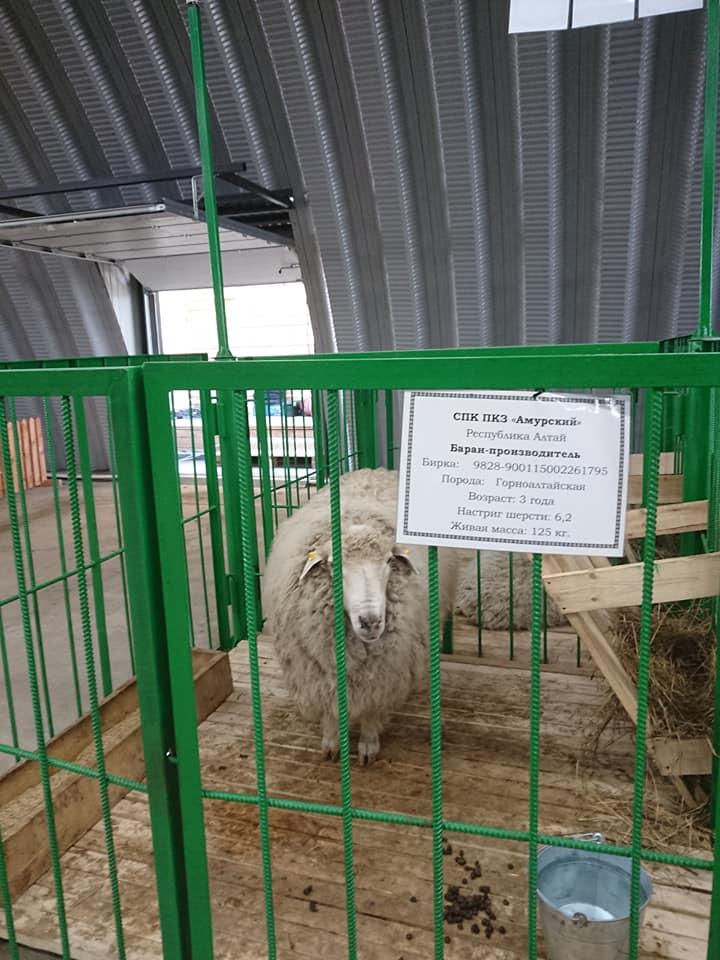 Как правильно содержать и выращивать овец и баранов: разведение животных в домашних условиях