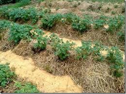 Мульчирование почвы: техника, порядок, виды (опилками, травой, сеном, корой, торфом)