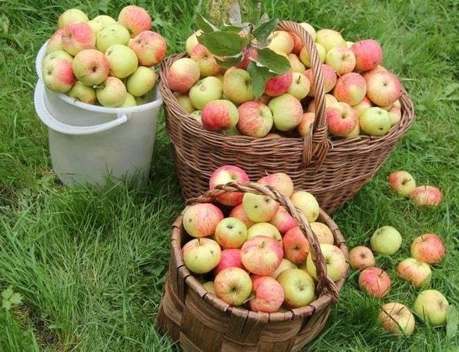 Народная яблоня осеннее полосатое: описание, фото
