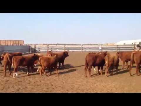Калмыцкая порода коров и ее характеристика