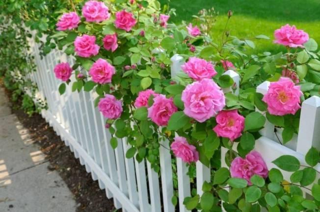 Роза из черенка в домашних условиях. как правильно вырастить цветок?