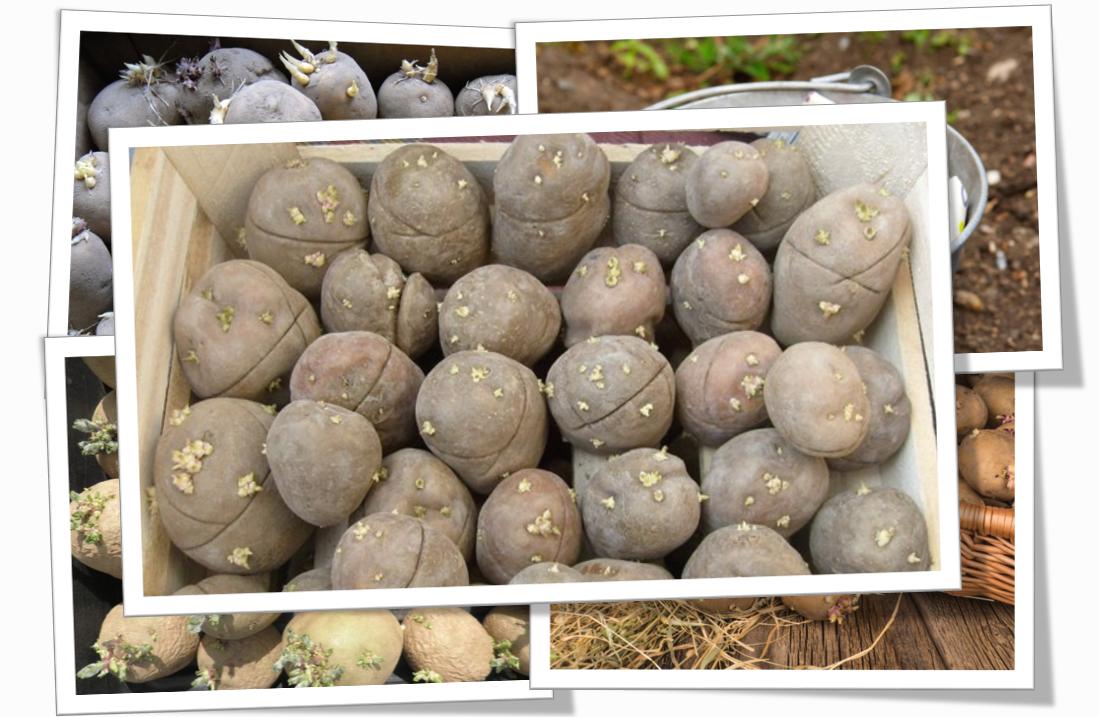 Как подготовить картофель к посадке: 3 варианта подготовки картофеля к посадке. | красивый дом и сад
