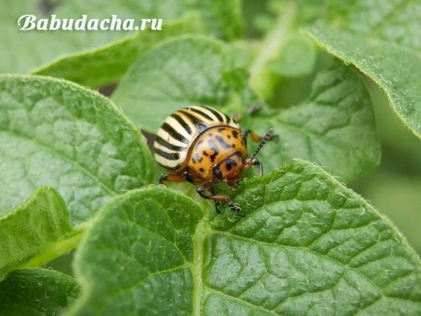 Табу от колорадского жука, инструкция по применению - все тонкости использования препарата