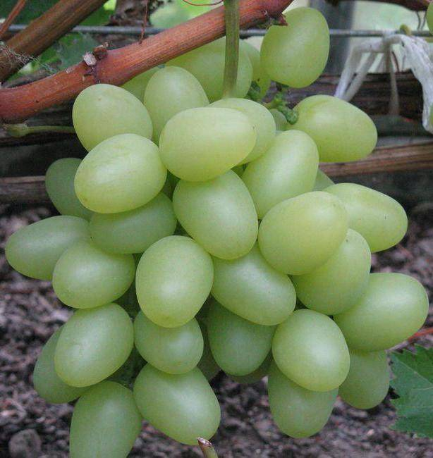 Виноград надежда – описание и характеристика сорта