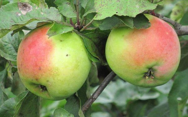 Описание сорта яблони семеренко