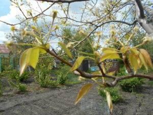 Почему желтеют листья у груши, что делать