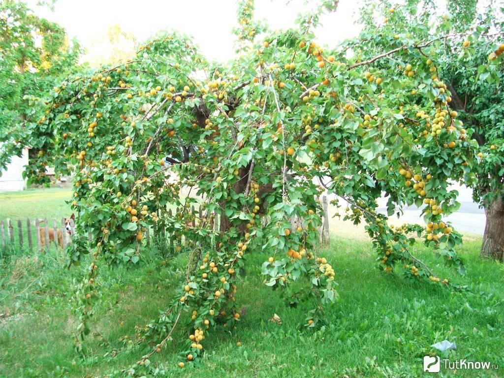 Посадка абрикоса: где, как и когда