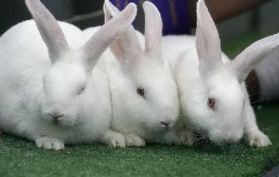Как безошибочно определить пол кролика