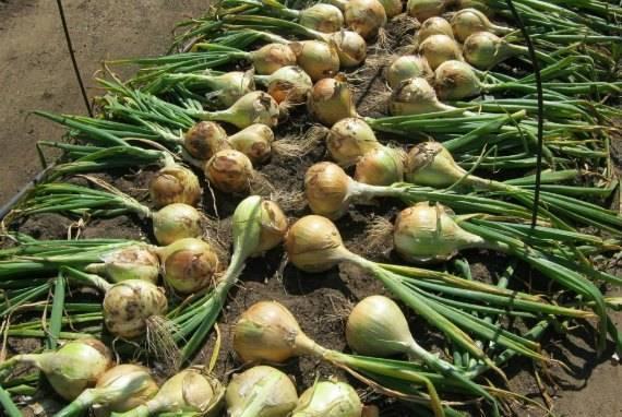 Все о выращивании лука Эксибишен: посев и уход за растением, условия для роста