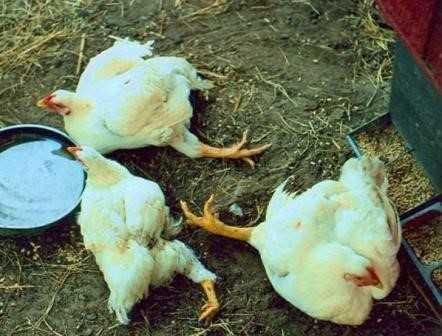 Причины поноса у кур-несушек
